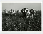Mechanical cotton picking