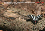 Butterflies & skippers of Ohio field guide