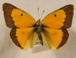 Alfalfa (Orange Sulfur) Butterfly--Colias eurytheme