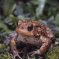 American toad photographs