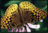 Great Spangled Fritillary butterfly on coneflower