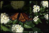 Viceroy butterfly on ninebark