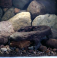 Eastern Hellbender Photographs