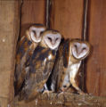 Barn Owl Photographs