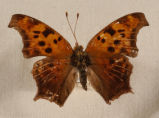 Question Mark Butterfly Polygonia interrogationis