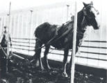John Lauten and Horse Plowing the Greenhouse Photograph
