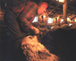Sheep Shearing Photograph