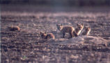Fox Kits Photograph